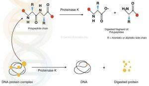 Vai trò của proteinase k trong tách chiết adn